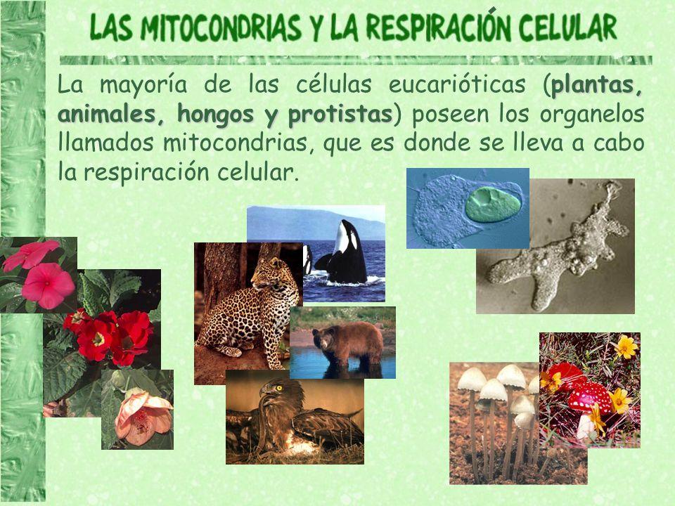 La mayoría de las células eucarióticas (plantas, animales, hongos y protistas) poseen los organelos llamados mitocondrias, que es donde se lleva a cabo la respiración celular.