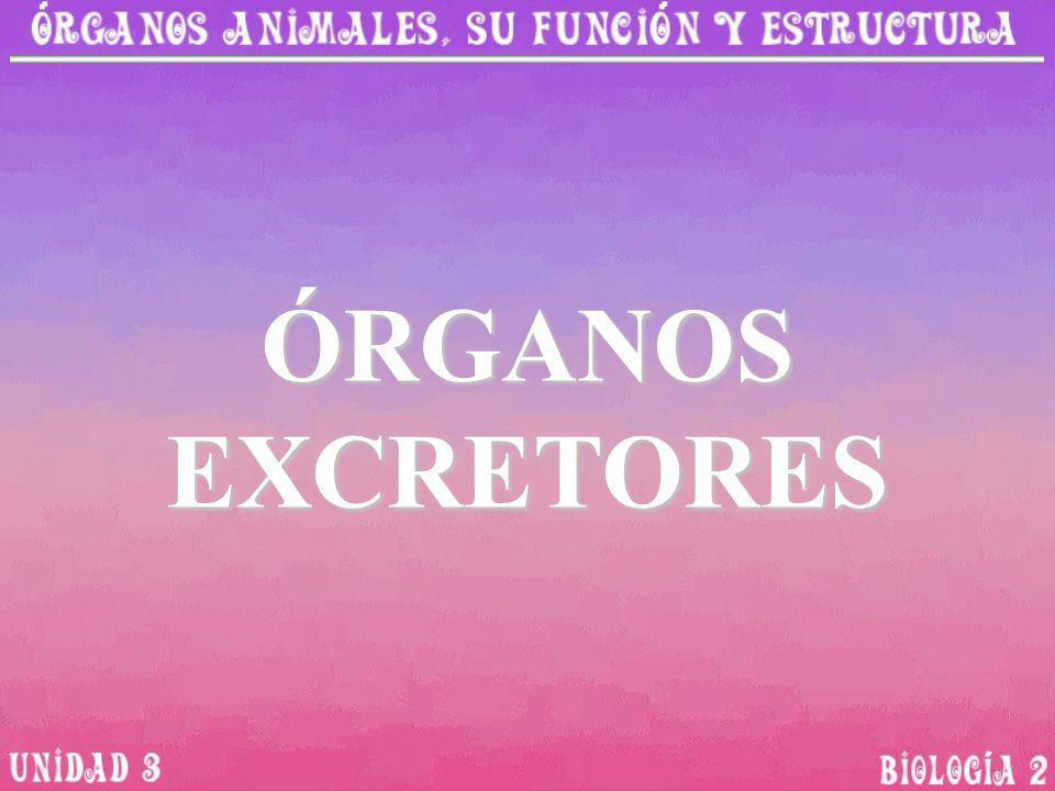 ÓRGANOS EXCRETORES