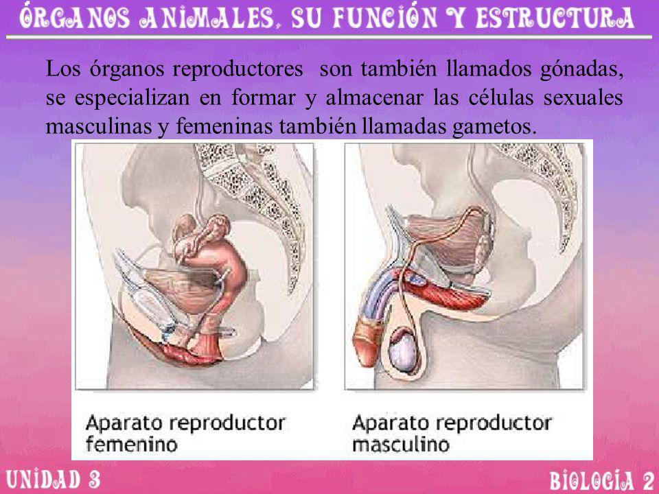 Los órganos reproductores son también llamados gónadas, se especializan en formar y almacenar las células sexuales masculinas y femeninas también llamadas gametos.