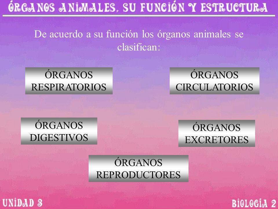 De acuerdo a su función los órganos animales se clasifican: