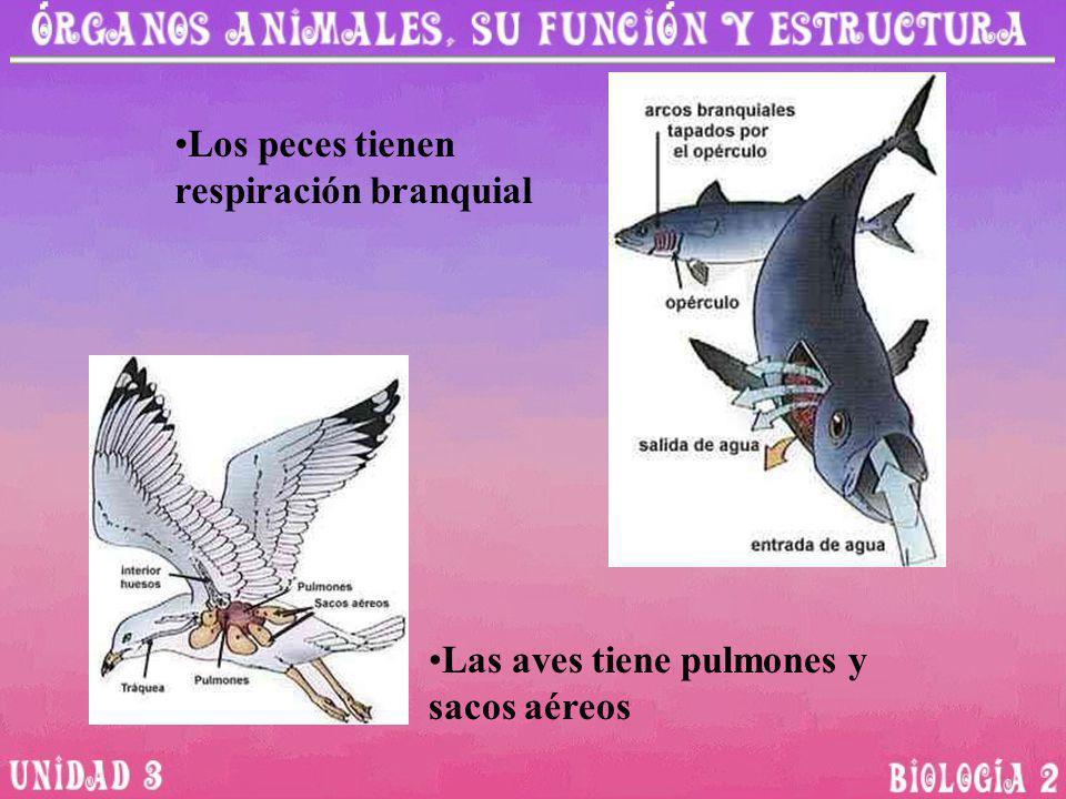 Los peces tienen respiración branquial