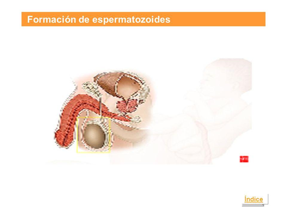 Formación de espermatozoides