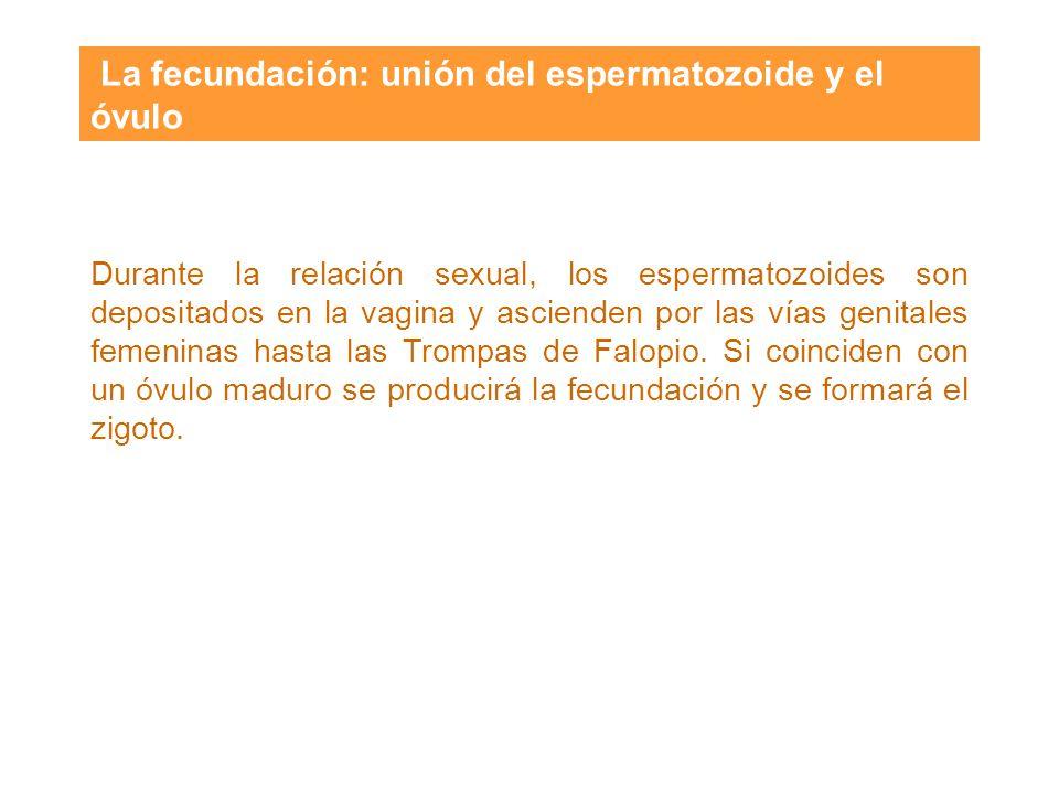 La fecundación: unión del espermatozoide y el óvulo
