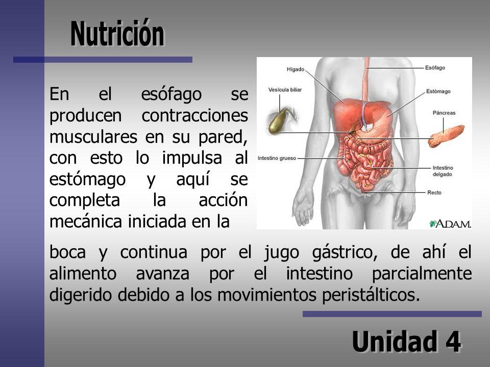 En el esófago se producen contracciones musculares en su pared, con esto lo impulsa al estómago y aquí se completa la acción mecánica iniciada en la