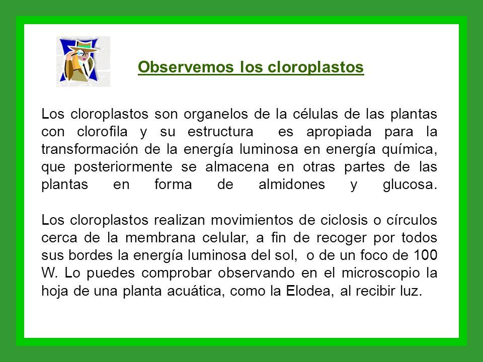 Observemos los cloroplastos