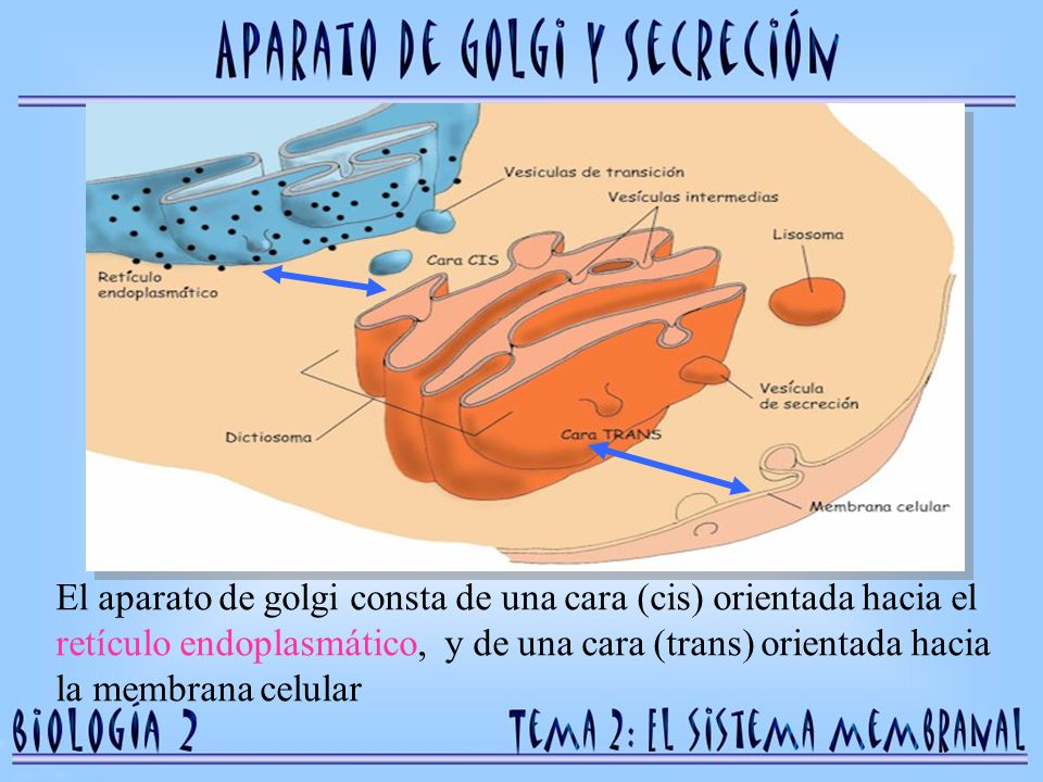 El aparato de golgi consta de una cara (cis) orientada hacia el retículo endoplasmático, y de una cara (trans) orientada hacia la membrana celular