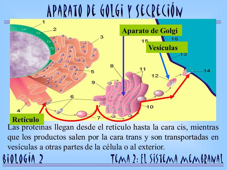 Retículo Aparato de Golgi. Vesículas.