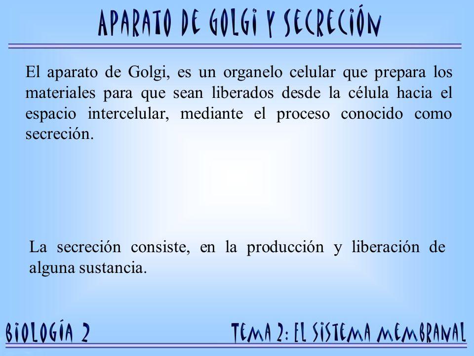 El aparato de Golgi, es un organelo celular que prepara los materiales para que sean liberados desde la célula hacia el espacio intercelular, mediante el proceso conocido como secreción.