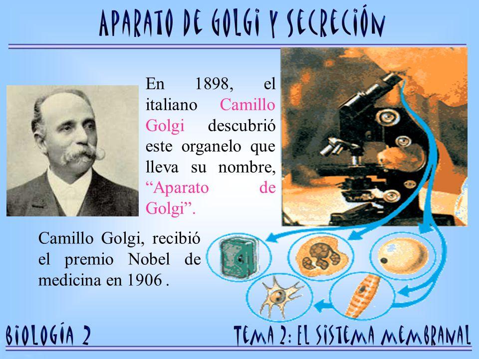En 1898, el italiano Camillo Golgi descubrió este organelo que lleva su nombre, Aparato de Golgi .