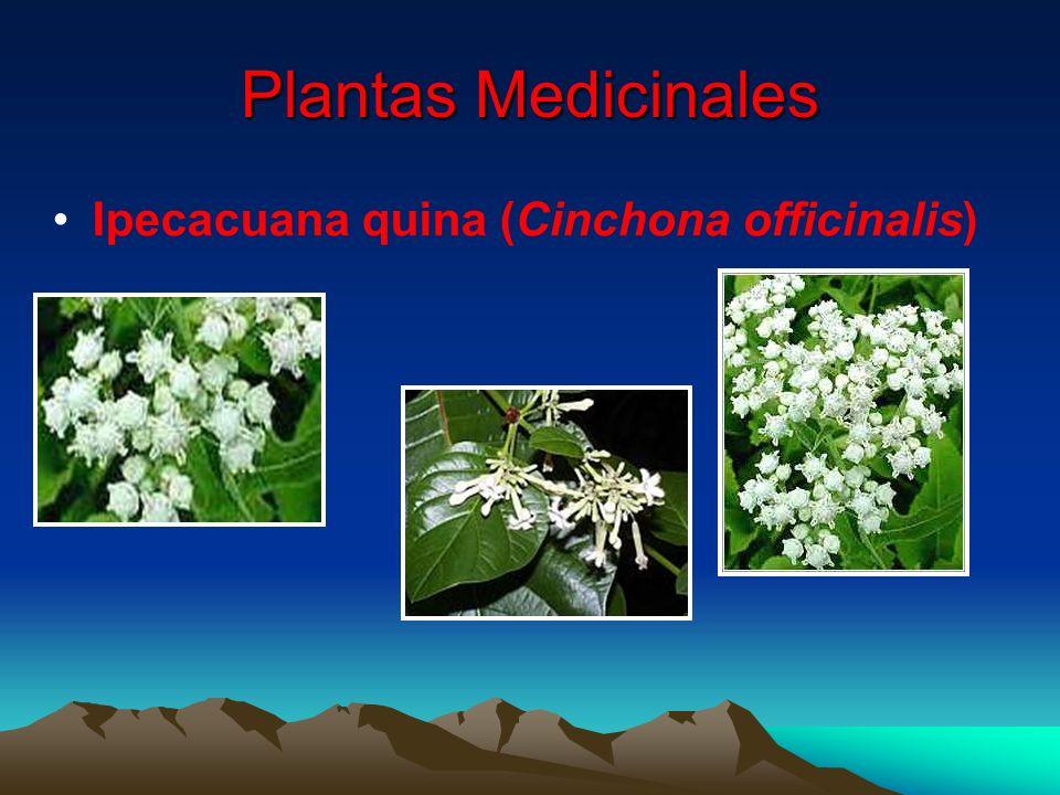 Plantas Medicinales Ipecacuana quina (Cinchona officinalis)