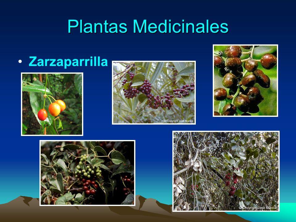 Plantas Medicinales Zarzaparrilla