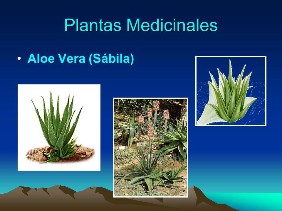 Plantas Medicinales Aloe Vera (Sábila)