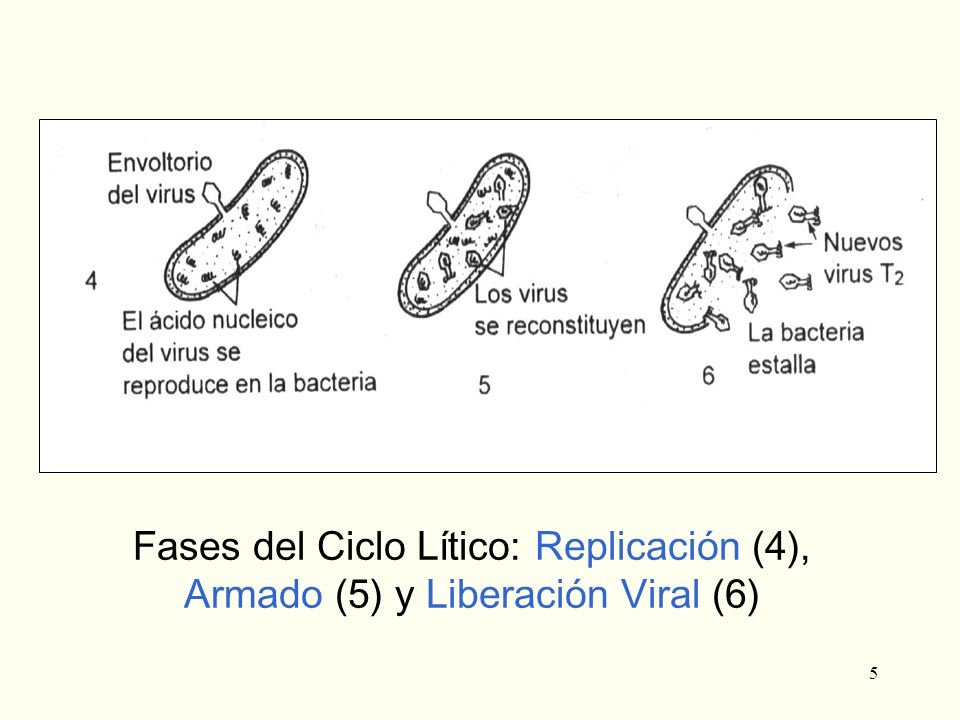 Fases del Ciclo Lítico: Replicación (4), Armado (5) y Liberación Viral (6)