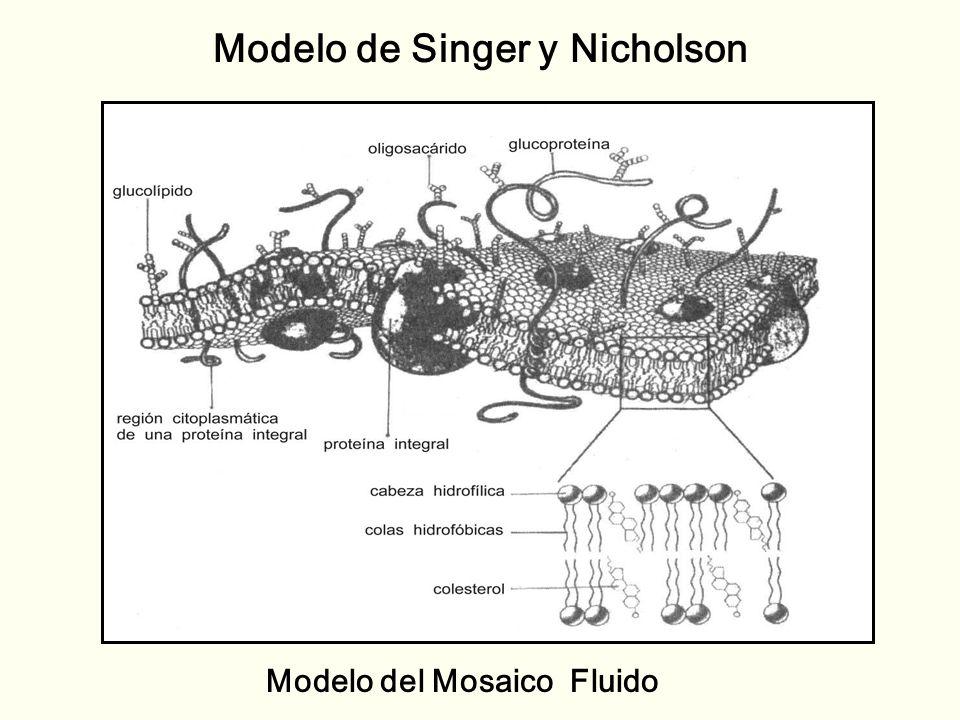 Modelo de Singer y Nicholson
