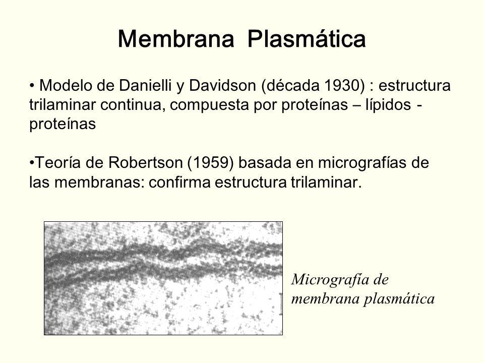 Membrana Plasmática Modelo de Danielli y Davidson (década 1930) : estructura trilaminar continua, compuesta por proteínas – lípidos - proteínas.