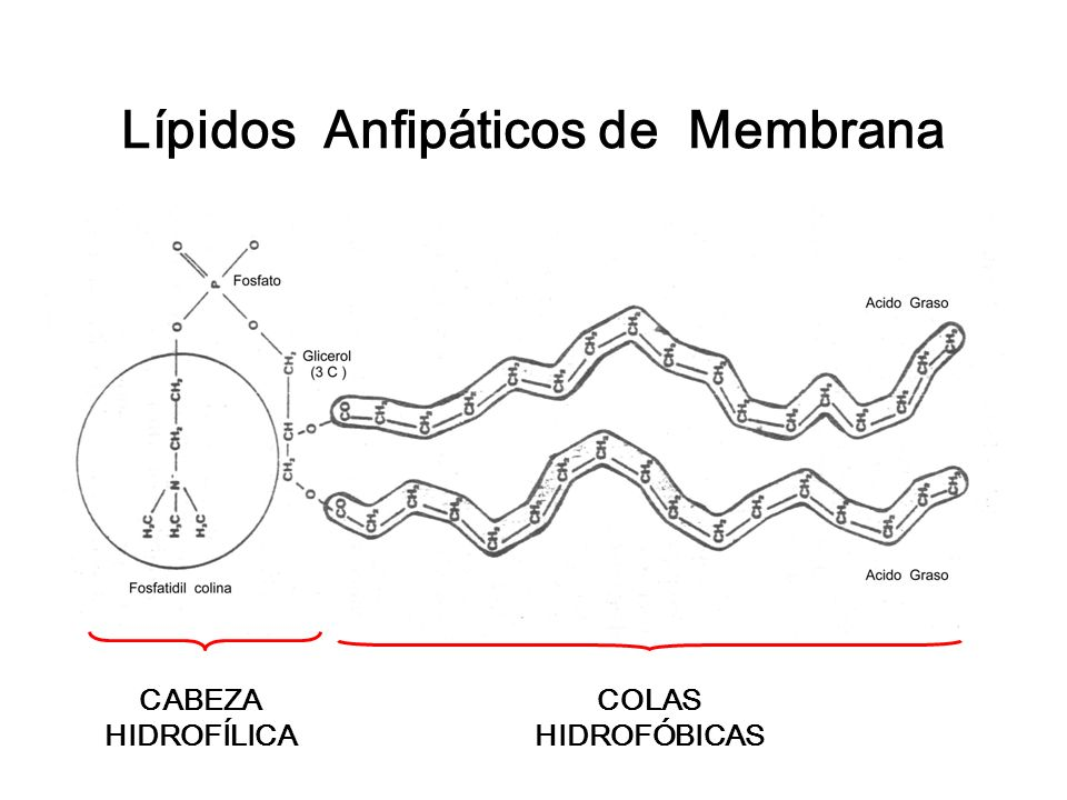 Lípidos Anfipáticos de Membrana