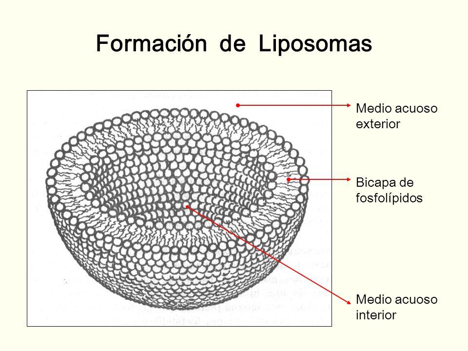 Formación de Liposomas
