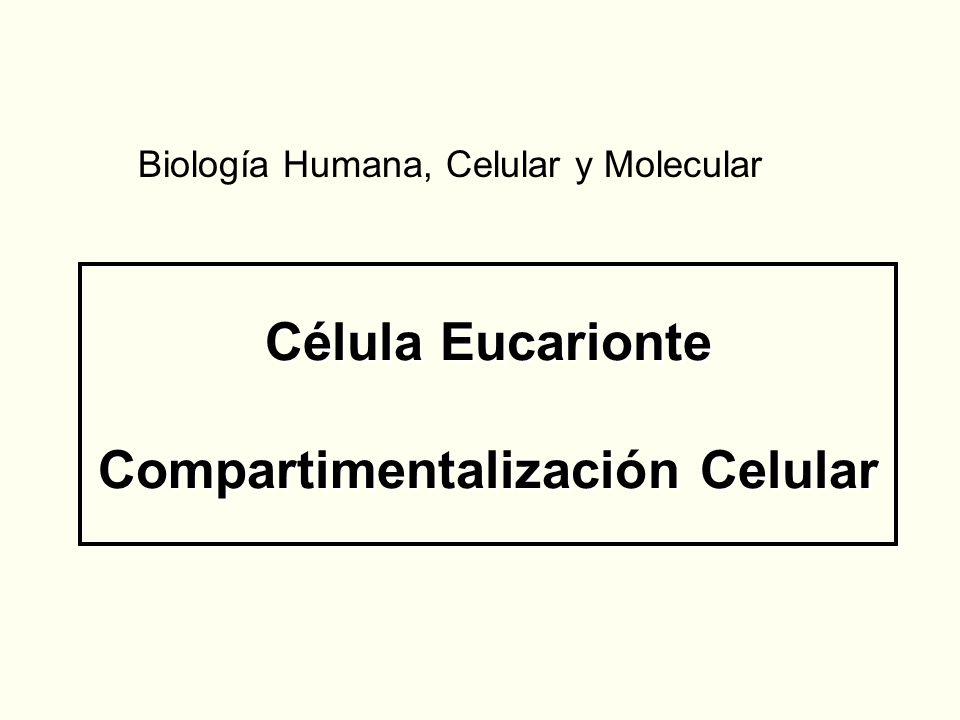 Célula Eucarionte Compartimentalización Celular