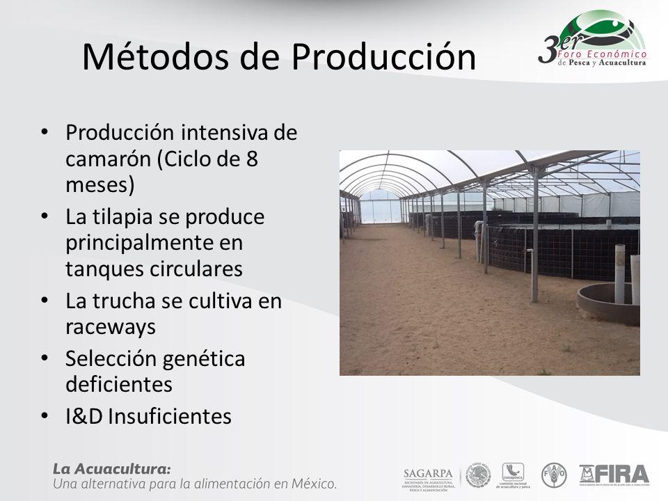 Métodos de Producción Producción intensiva de camarón (Ciclo de 8 meses) La tilapia se produce principalmente en tanques circulares.