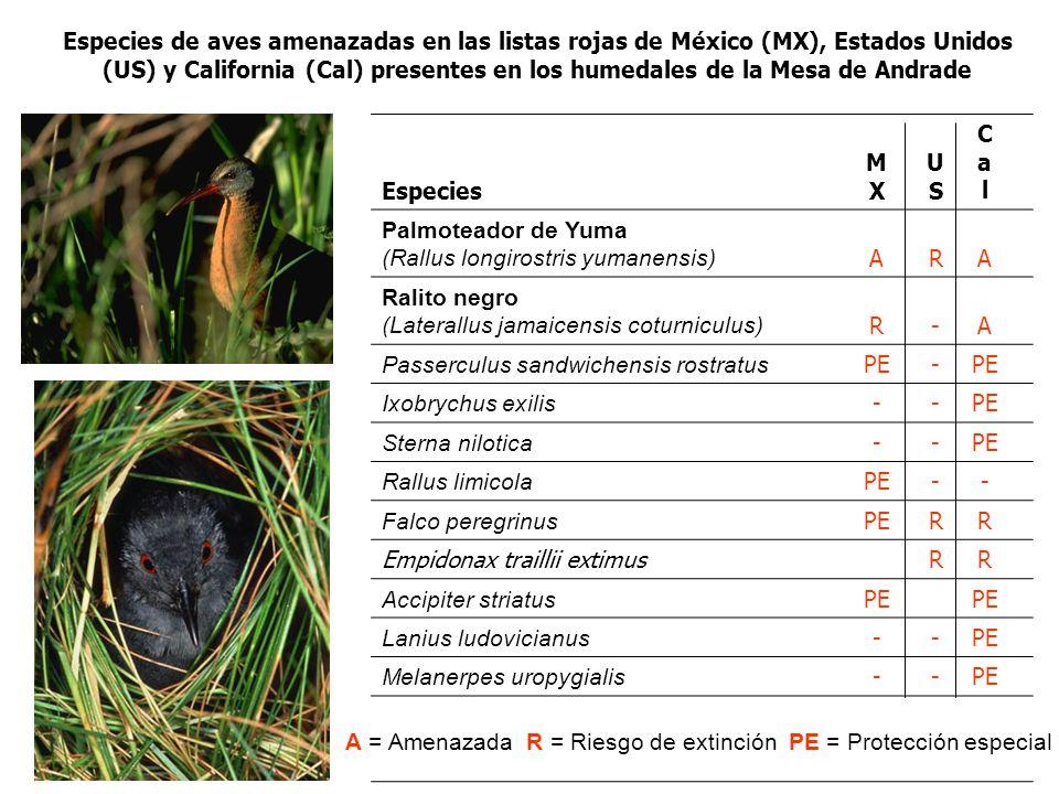 Especies de aves amenazadas en las listas rojas de México (MX), Estados Unidos (US) y California (Cal) presentes en los humedales de la Mesa de Andrade