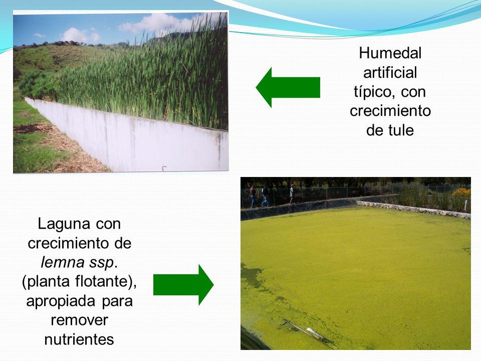 Humedal artificial típico, con crecimiento de tule