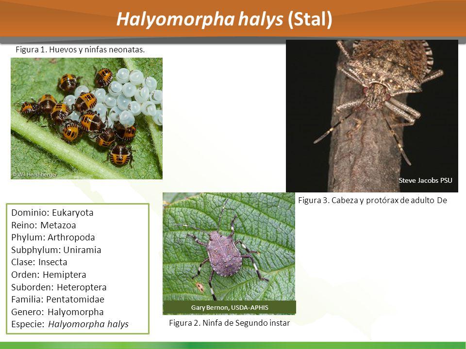 Halyomorpha halys (Stal)