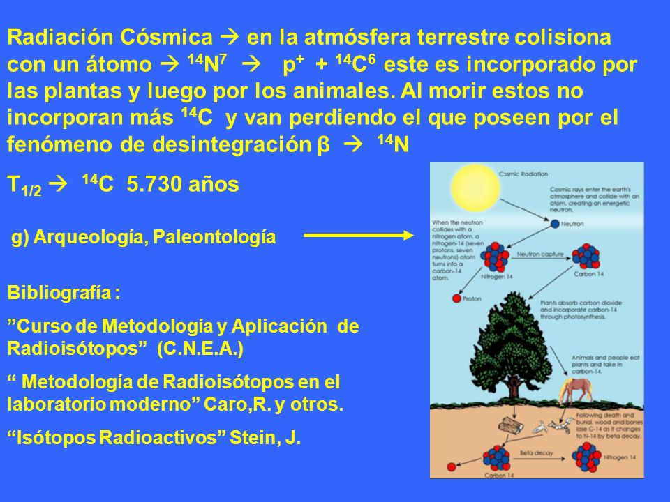 Radiación Cósmica  en la atmósfera terrestre colisiona con un átomo  14N7  p+ + 14C6 este es incorporado por las plantas y luego por los animales. Al morir estos no incorporan más 14C y van perdiendo el que poseen por el fenómeno de desintegración β  14N