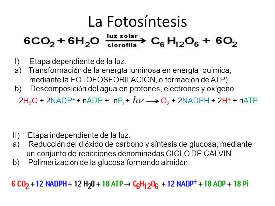 La Fotosíntesis I) Etapa dependiente de la luz:
