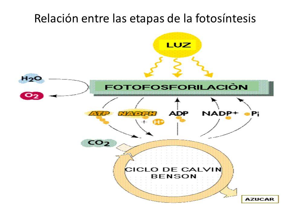 Relación entre las etapas de la fotosíntesis