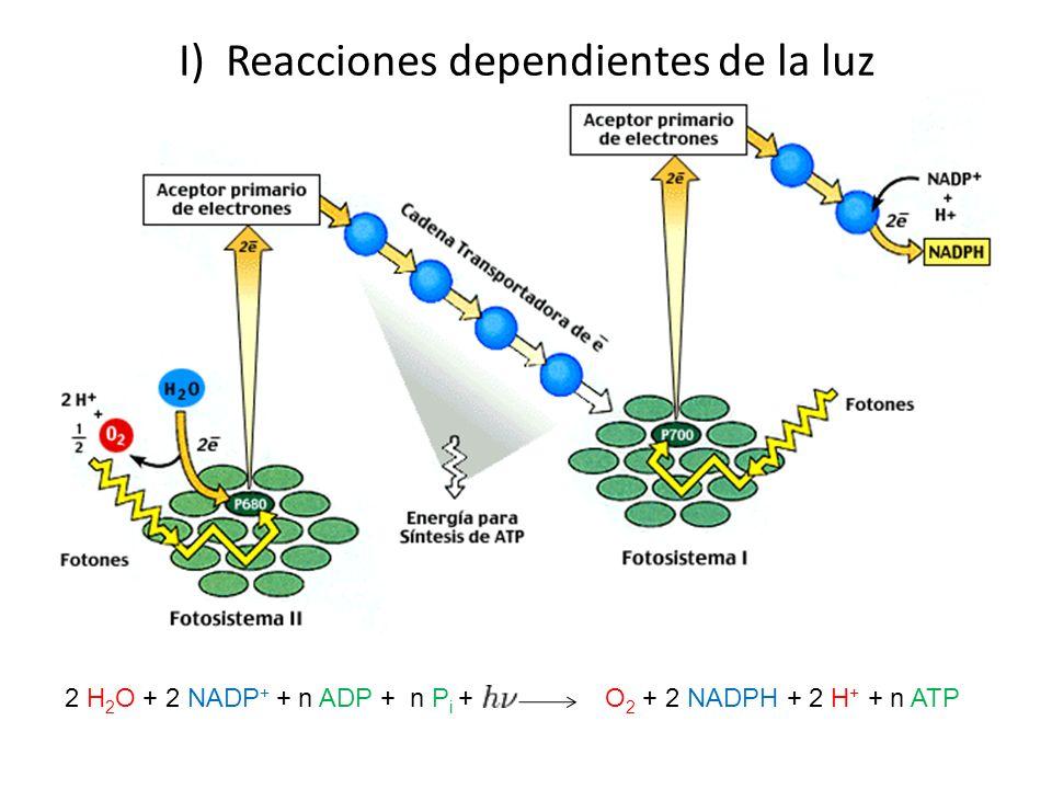 I) Reacciones dependientes de la luz