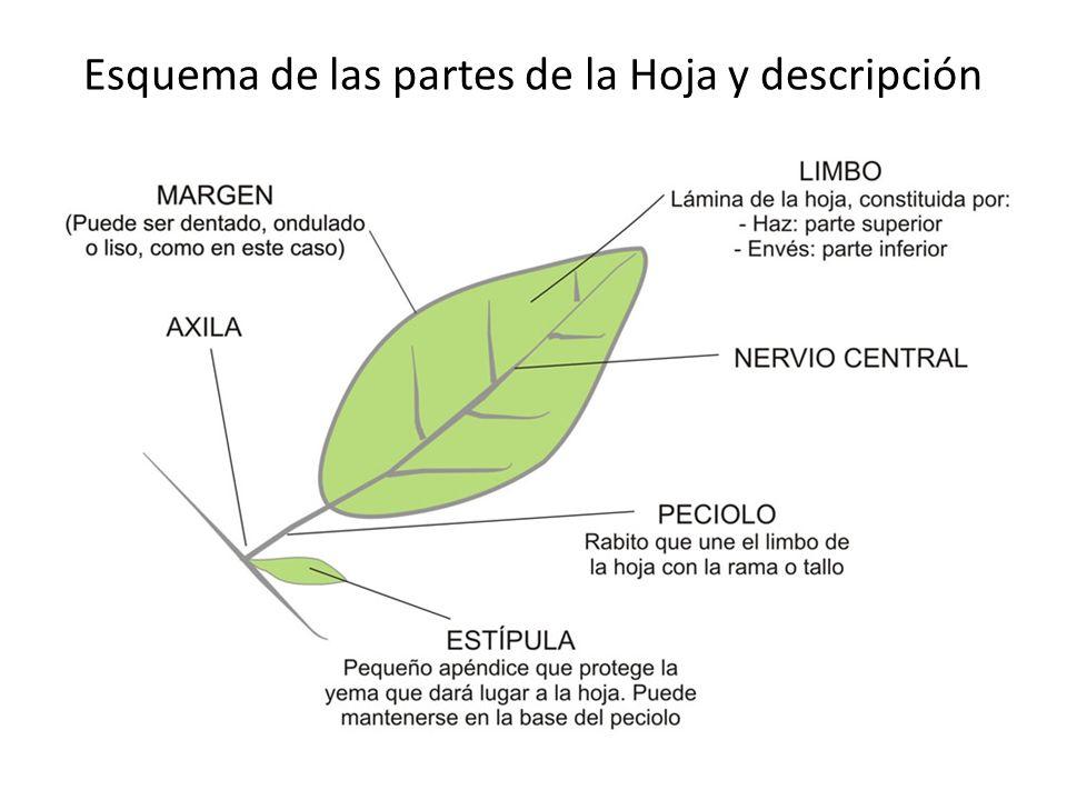 Esquema de las partes de la Hoja y descripción