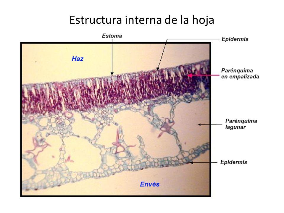 Estructura interna de la hoja