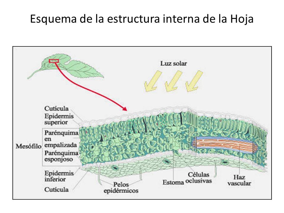 Esquema de la estructura interna de la Hoja