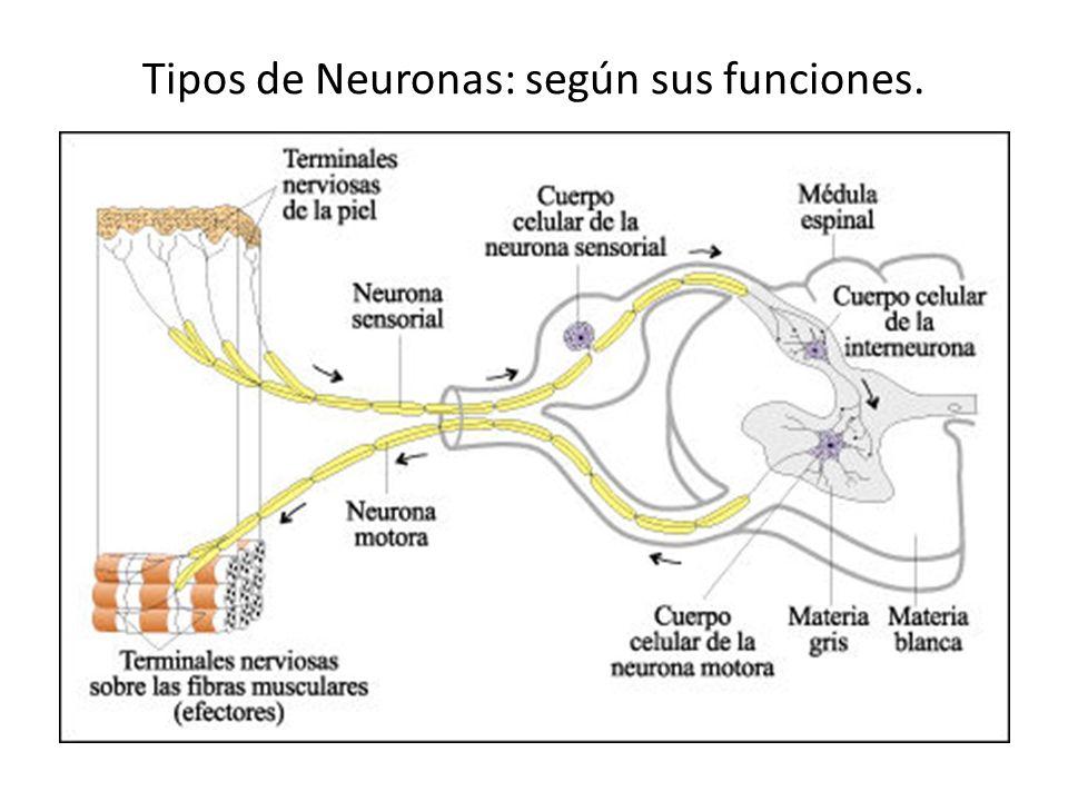 Tipos de Neuronas: según sus funciones.
