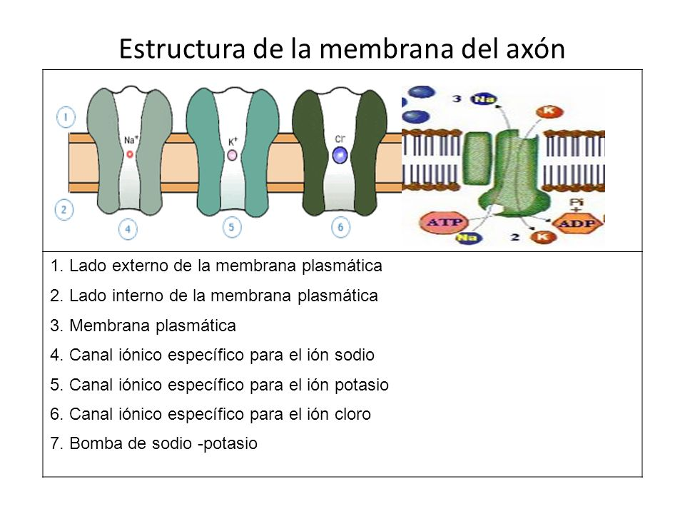 Estructura de la membrana del axón