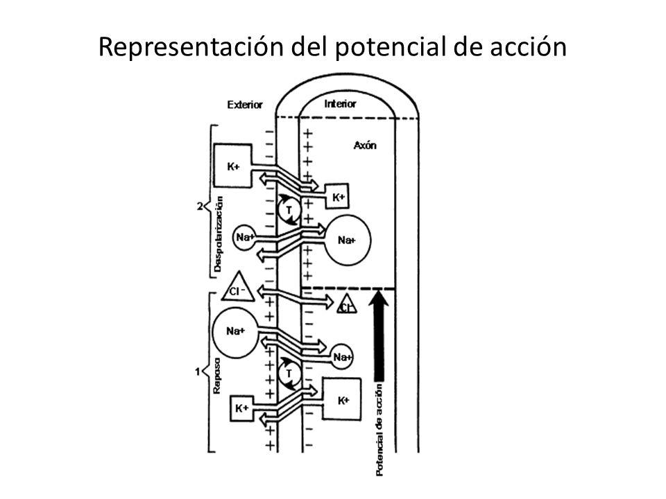 Representación del potencial de acción