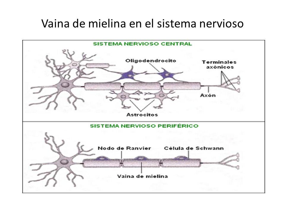 Vaina de mielina en el sistema nervioso