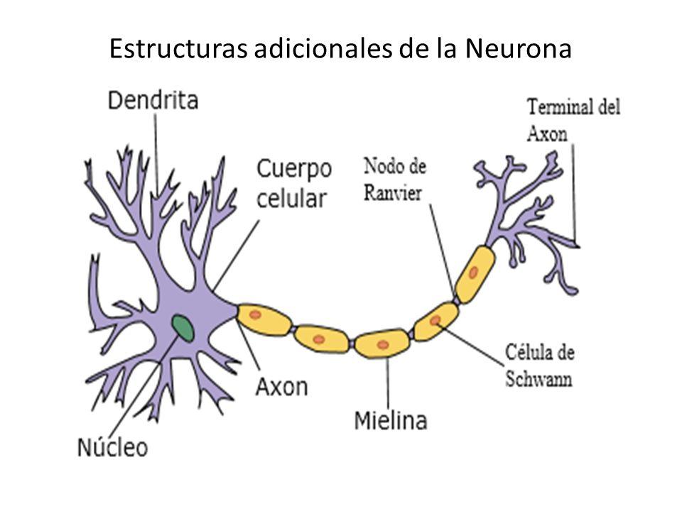 Estructuras adicionales de la Neurona