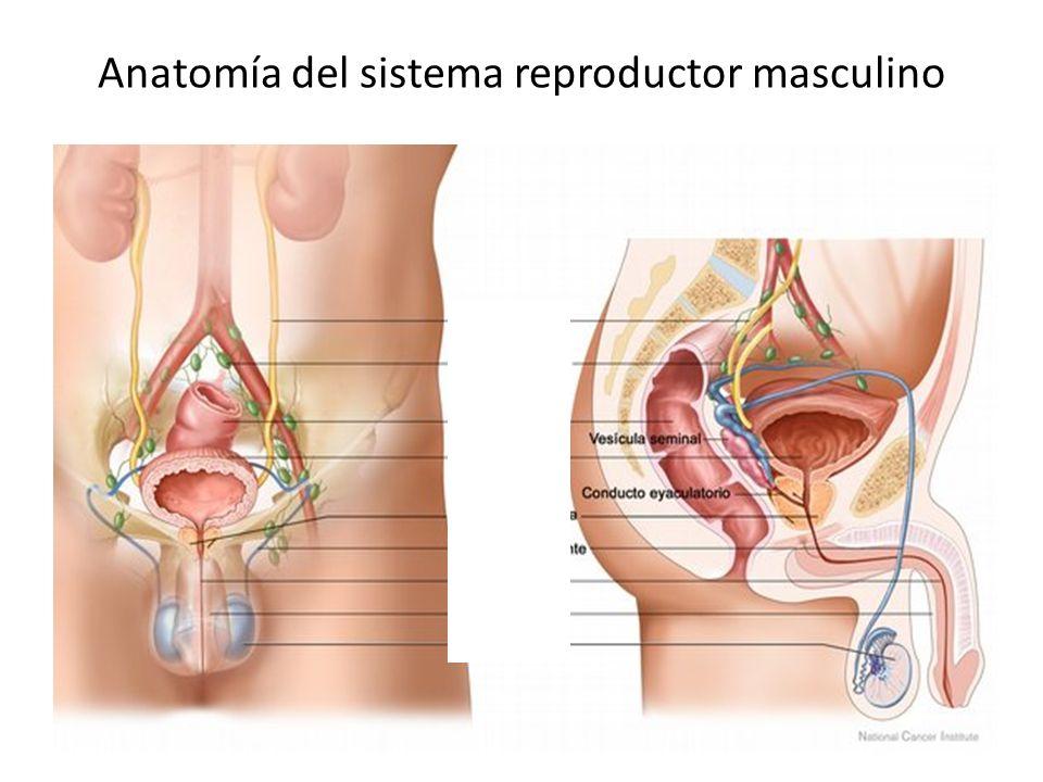 Excelente Sistema Reproductivo Femenino Anatomía Imagen - Imágenes ...