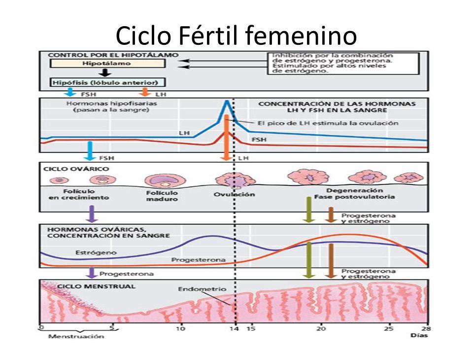 Ciclo Fértil femenino