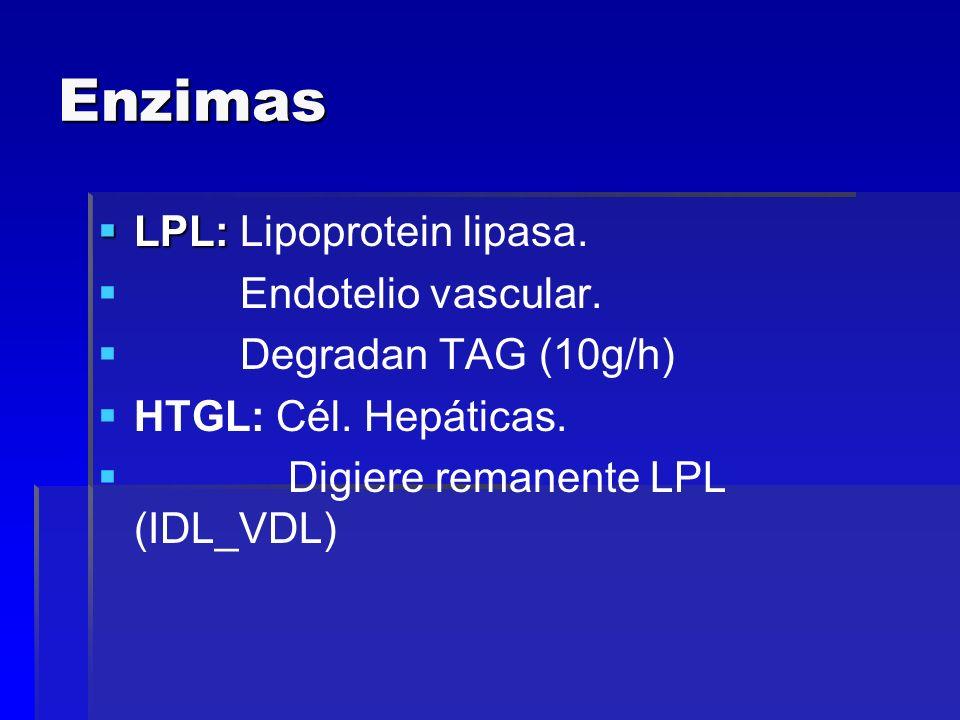 Enzimas LPL: Lipoprotein lipasa. Endotelio vascular.