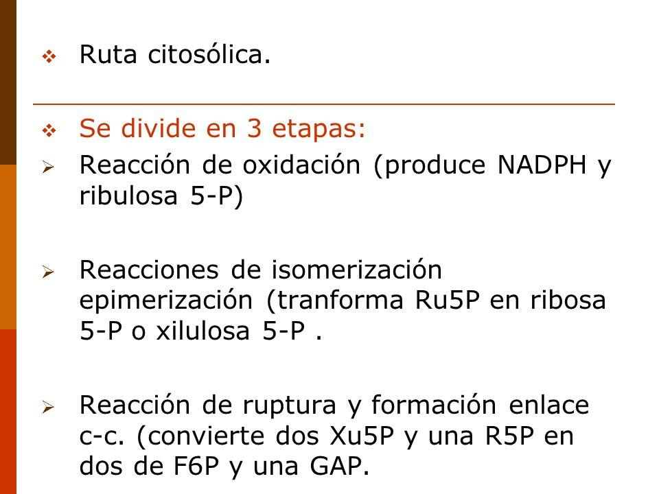 Ruta citosólica. Se divide en 3 etapas: Reacción de oxidación (produce NADPH y ribulosa 5-P)