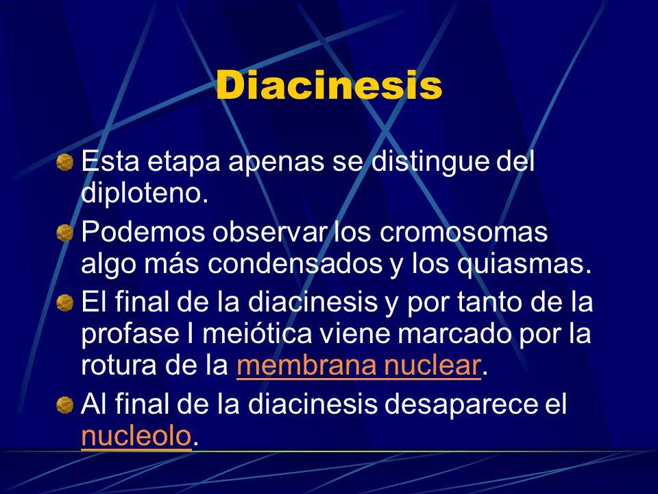 Diacinesis Esta etapa apenas se distingue del diploteno.