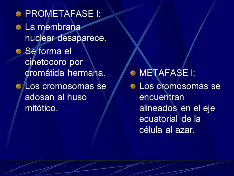 PROMETAFASE I:La membrana nuclear desaparece. Se forma el cinetocoro por cromátida hermana. Los cromosomas se adosan al huso mitótico.