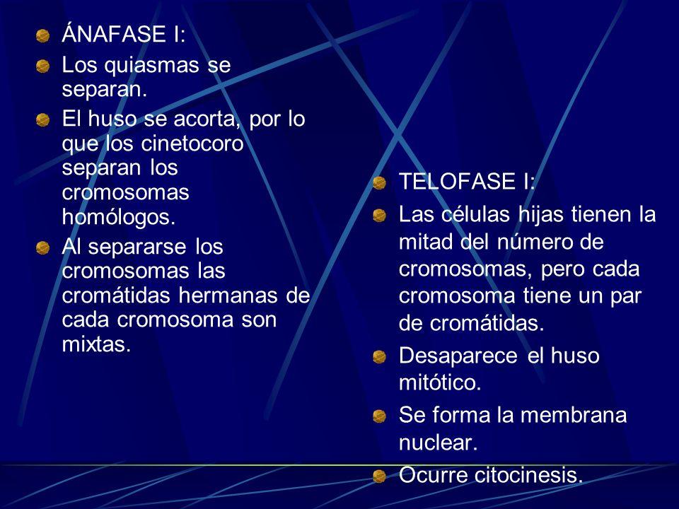 ÁNAFASE I:Los quiasmas se separan. El huso se acorta, por lo que los cinetocoro separan los cromosomas homólogos.