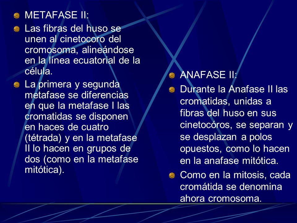 METAFASE II:Las fibras del huso se unen al cinetocoro del cromosoma, alineándose en la línea ecuatorial de la célula.