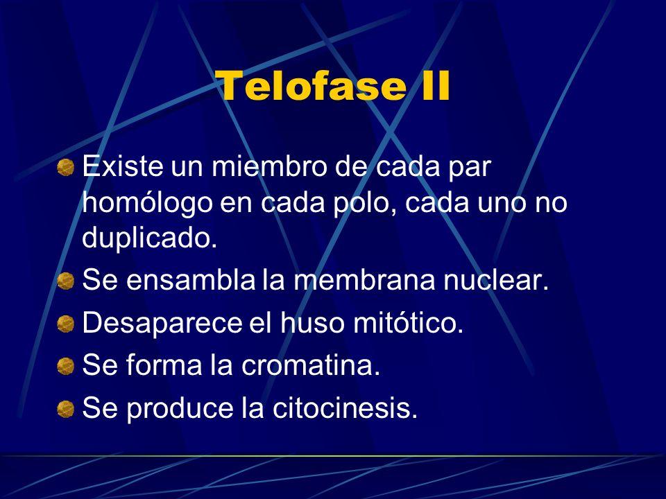 Telofase IIExiste un miembro de cada par homólogo en cada polo, cada uno no duplicado. Se ensambla la membrana nuclear.