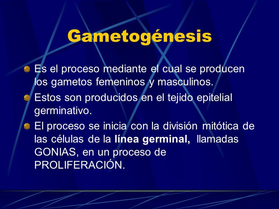 GametogénesisEs el proceso mediante el cual se producen los gametos femeninos y masculinos. Estos son producidos en el tejido epitelial germinativo.