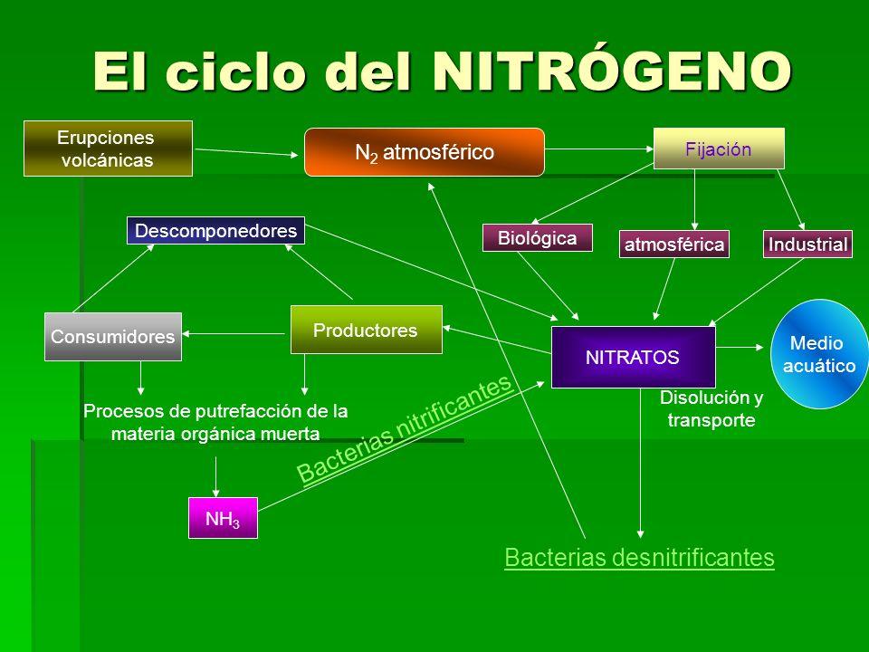 El ciclo del NITRÓGENO Bacterias nitrificantes