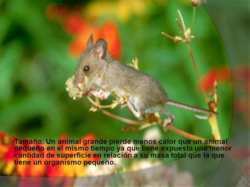Tamaño: Un animal grande pierde menos calor que un animal pequeño en el mismo tiempo ya que tiene expuesta una menor cantidad de superficie en relación a su masa total que la que tiene un organismo pequeño.